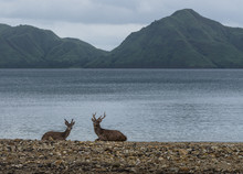 Two Deers Are Waiting To Be Hunted By Komodo Dragons