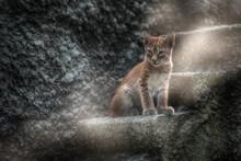 Very Tiny Lynx Kitten Is Comin...