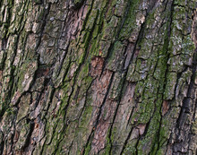 Natural Pear Tree Bark. Abstra...