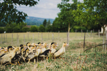 Cannetons En Plein Air Dans Le Périgord, France