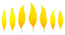 Sunflower Petals Isolated On A...