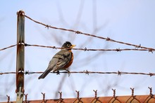 American Robin Bird Perching On Barbed Wire