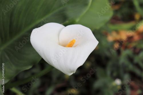 Fleur blanche d'Arum au printemps - Famille des Araceae - Ville de Corbas - Dépa Wallpaper Mural