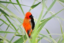 Southern Red Bishop Perching O...