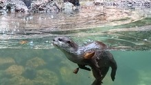 Close-up Of Otter Swimming In River
