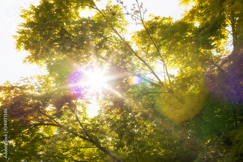 Rays of sunshine and sun flares  through the canopy of Japanese maple (Acer palmatum) in early spring Canvas Print