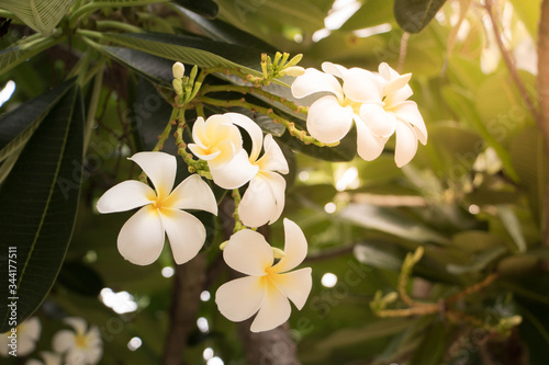 Close-up Of Frangipani Blooming Outdoors Fototapete