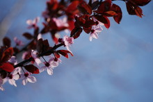 Blüten, Geäst, Zweige, Farbenfroh, Frühlingserwachen, Blauer Himmel, Sonniger Tag, Frühlingstag, April, Mai, Rosa, Pink, Dunkelrot, Platz Für Text, Wallpaper, Grußkarte, Postkarte, Titelbild, Natur