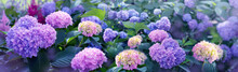 Pink Abd Blue Hidrangea In Sum...