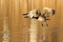 Canada Goose Flying Over Lake