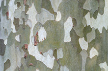 Green And Brown Plane Tree Bark Close-up. Protective Color