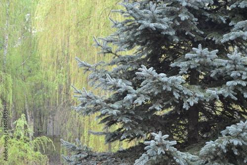 Obraz śnieg, zima, drzew, bory, przeziębienie, charakter, biała, boże narodzenie, drzew, krajobraz, niebo, jodła, mróz, sosna, pora roku, lodu, góra, lukrowane, śnieżny, drewna, blękit, choinką, drewna, nat - fototapety do salonu