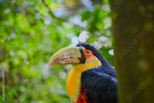 yellow billed hornbill tropical toucan beak amazonia brazil Wallpaper Mural
