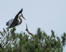 Low Angle View Of Great Blue Heron On Tree Against Sky