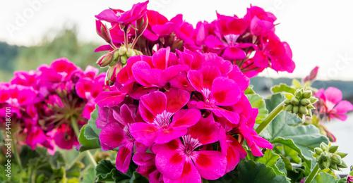 Geranium Blumen auf dem balkon - Geranien