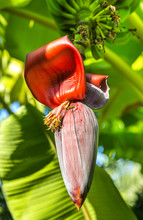Banana Fruit With Banana Blossom On Tree
