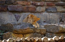 Lion Cub Relaxing On Rock At Zoo