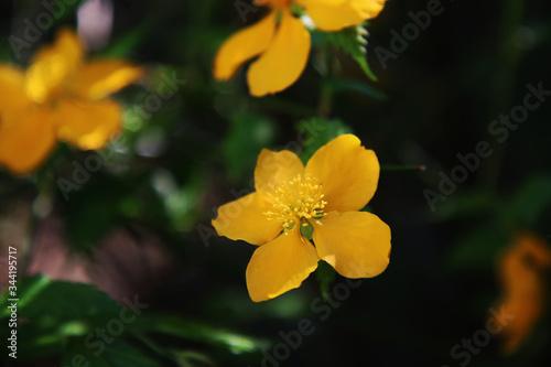 Fotografia Fiori gialli appena sbocciati, primo piano
