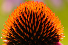 Close-up Side View Of The Purple Coneflower Seed Head, Backlit By The Morning Sunshine