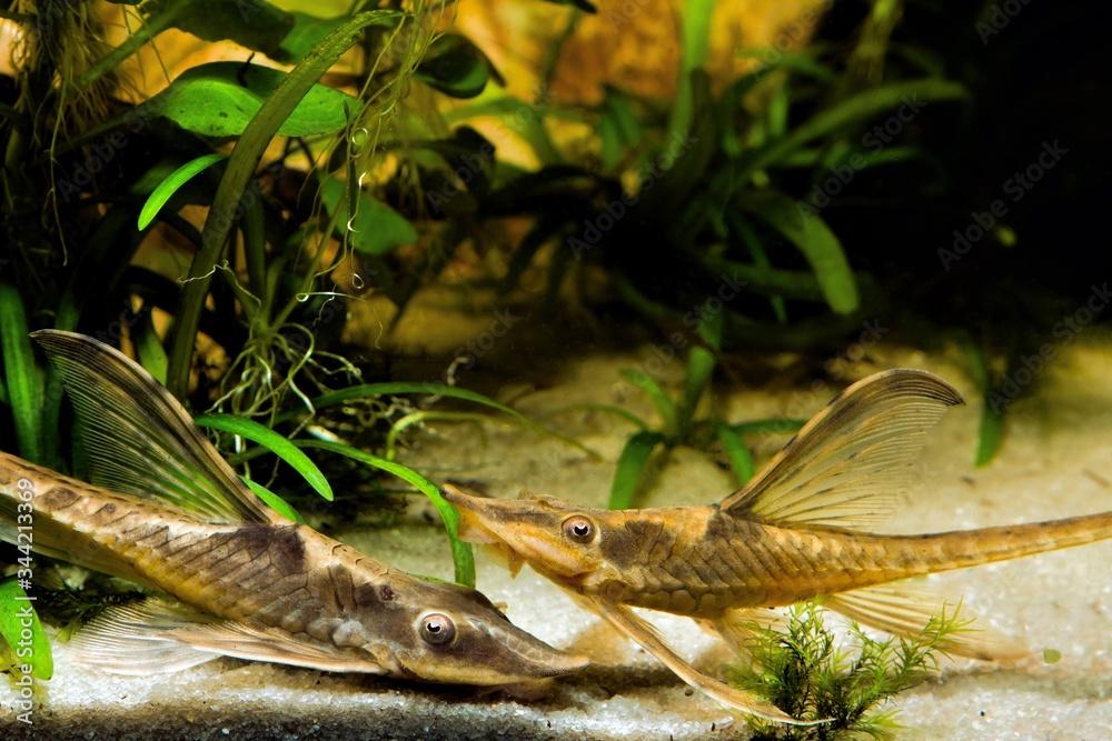Fototapeta Sturisomatichthys panamense, peaceful and helpful flamboyant freshwater algae eater species, 2 adults on sand bottom of nature planted aquadesign tank