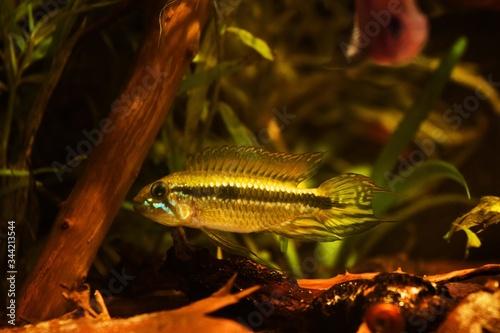 Photo adult wild dominant male Apistogramma mendezi, rare freshwater dwarf cichlid in