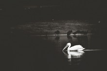 Pelican In Lake At Dusk