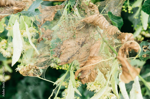 Photo leaves of trees in a web with  spider mites ate