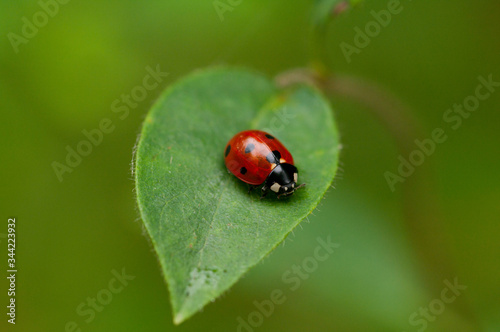 Photo Close-up of a red and black ladybird on a green leaf