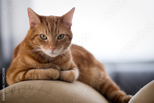 Portrait Of Ginger Cat Lying On Sofa At Home Canvas Print