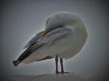 Close-up Of Seagull Preening