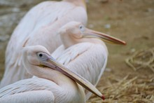 High Angle View Of Pelicans Resting On Field