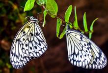 Idea Leuconoe In The Rainforest