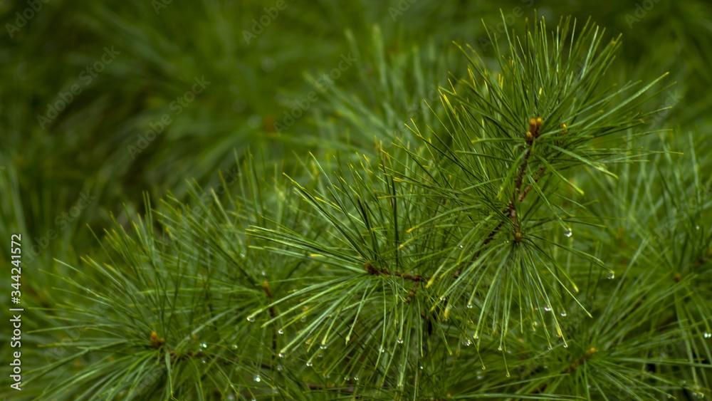 Fototapeta Czarna sosna, black pine. - obraz na płótnie
