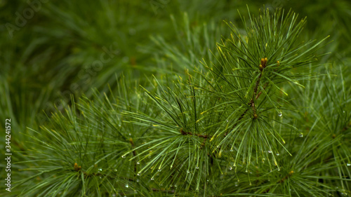 Obraz Czarna sosna, black pine. - fototapety do salonu