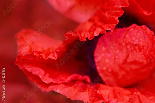 Close up of red poppy in the sunlight. Selective focus. - 344245956
