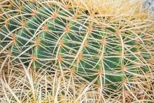 Closeup Thorns Of Golden Barre...