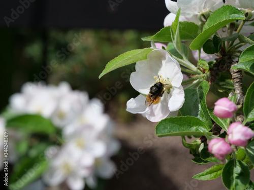 Kleine Wildbiene an der weißen Blüte eines Apfelbaums Canvas Print