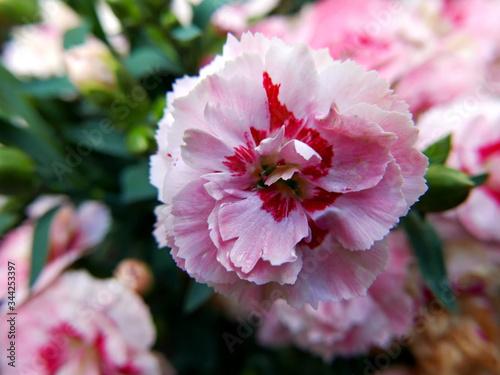 macro di piccolo garofano rosa fiorito nel giardino in primavera Canvas Print