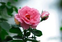 A Rose Is A Woody Perennial Fl...