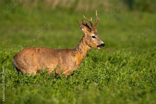 Fotografija Male roe deer, capreolus capreolus, buck with abnormally deformed antlers chewing on clover field at sunrise