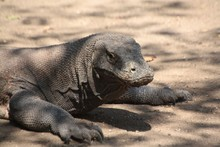Close-up Of Komodo Dragon On F...
