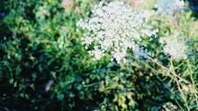 Close-up Of Queen Annes Lace Blooming In Field