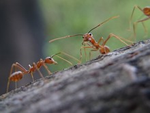 Close-up Of Red Ants