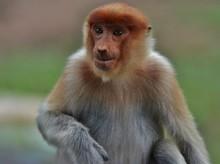 Close-up Of Proboscis Monkey
