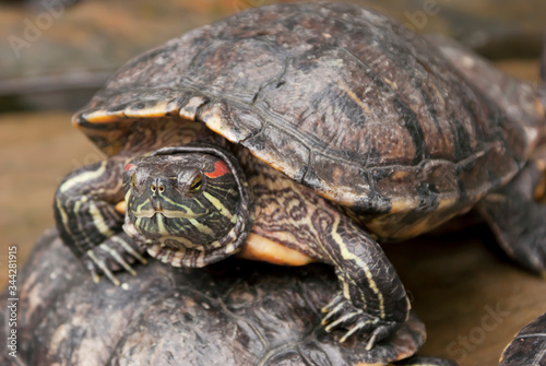 Żółwi skrytoszyjny (Cryptodira) – dziki żółw w naturalnym środowisku. Portret żółwia.  - fototapety na wymiar