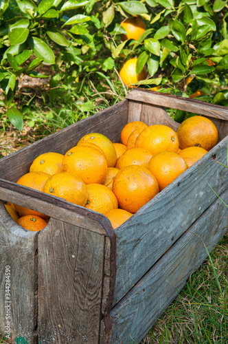 Florida Oranges in boxes on the farm