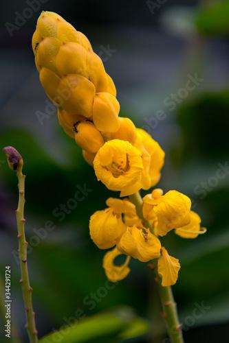 Fotografia Senna Alata flower in macro