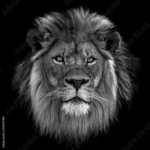 Close-up Of Lion Against Black Background - fototapety na wymiar
