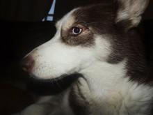 Close-up Of The Head Of A Siberian Husky