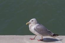 Herring Gull Walking On A Concrete Pier.